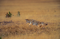 COYOTE leaping to surprise a mouse..Autumn. Rocky Mountains..(Canis latrans).