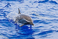 pantropical spotted dolphin, Stenella attenuata, jumping, offshore, Kona Coast, Big Island, Hawaii, USA, Pacific Ocean