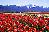 Tulips blooming on Tulip Bulb Farm Field near Hope and Agassiz, Fraser Valley, Southwestern BC, British Columbia, Canada, Spring