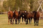 A HERD OF HORSES IN BEAVERHEAD, MONTANA