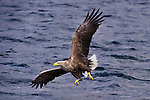 Male White-tailed Sea Eagle (Haliaeetus albicilla), swooping to take a fish from the water's surface. Loch Na Keal off the Isle of Mull, north west Scotland.  (baited).