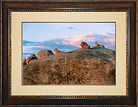 """Lion<br /> Image Size:  20"""" x 30""""<br /> Finished Frame Dimensions:  34"""" x 44""""<br /> Quantity Available: 1"""