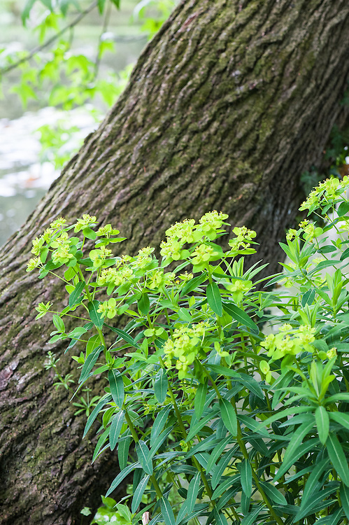 Euphorbia, Beth Chatto Garden, late May.