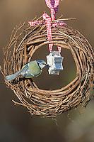 Blaumeise, selbstgemachtes Vogelfutter in einem Keksförmchen, Förmchen, Vogelfütterung, Fütterung, Fettfuttermischung, Fettfutter, Meisenknödel, Blau-Meise, Meise, Meisen, Cyanistes caeruleus, Parus caeruleus, blue tit, bird's feeding, La Mésange bleue