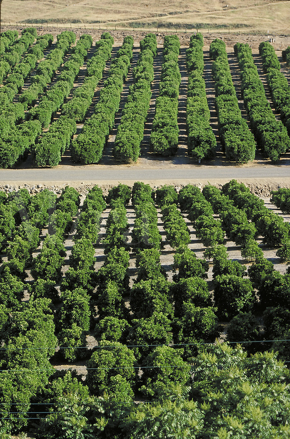 rows of orange trees in orchard.  fruit, orchards, groves, citrus, agriculture, grower. Exeter California.