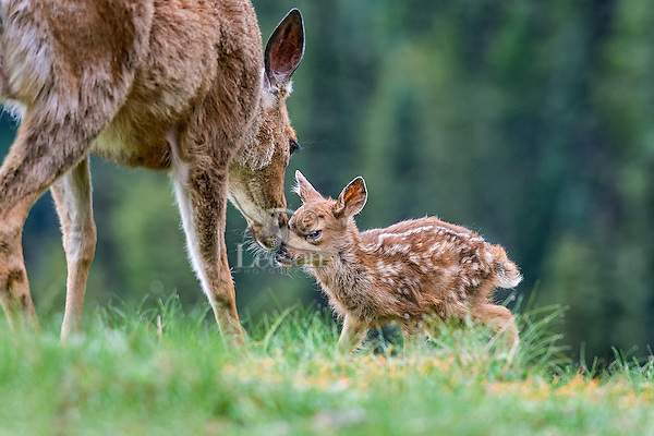 Columbian black-tailed deer (Odocoileus hemionus columbianus) doe greeting young fawn. Pacific Northwest.  Summer.