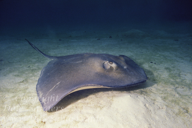 Southern Stingray ( Dasyatis americana) underwater off Grand Cayman Island, BWI.