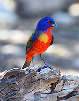 Adult male painted bunting with a large yellow spot