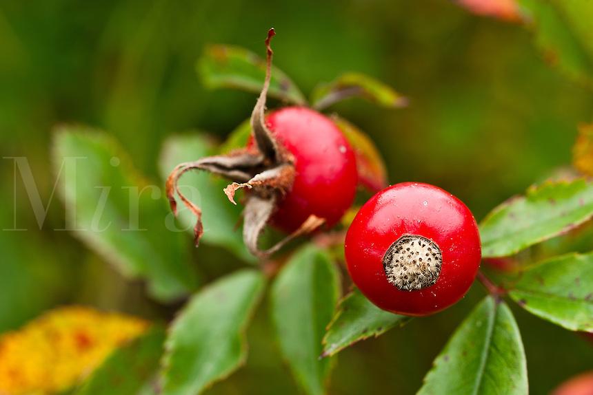 Rose hip fruit detail.