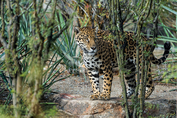 Jaguar (Panthera onca).  This jaguar was photographed in the desert Southwest where a few range north from the Mexican desert into southern Arizona--quite a different habitat from the more typical South American jungle.