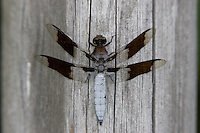 Common Whitetail (Plathemis lydia) Dragonfly - Male, Wallkill National Wildlife Refuge, Sussex, Sussex County, New Jersey