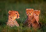 Cheetah & cubs, Kenya