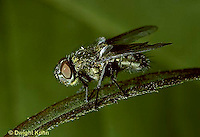 1H01-017e  House Fly - adult - Musca domestica