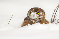 A Northern Pygmy-Owl looks up after digging up his cache of quail underneath the snow.