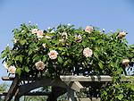 Jaune Desprez Rose, Rosa hybrid