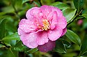 Autumn-flowering Camellia hiemalis 'Sparkling Burgundy', early November.