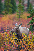 Cow moose browses on the dwarf birch plant in the boreal forest of Denali National Park.