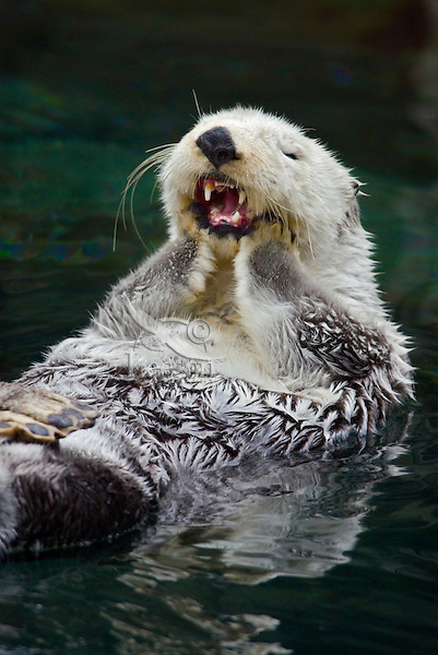 Sea Otter (Enhydra lutris) grooming..(Point Defiance Zoo & Aquarium, Tacoma, WA)