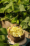 Yellow wax beans in basket with garden setting.