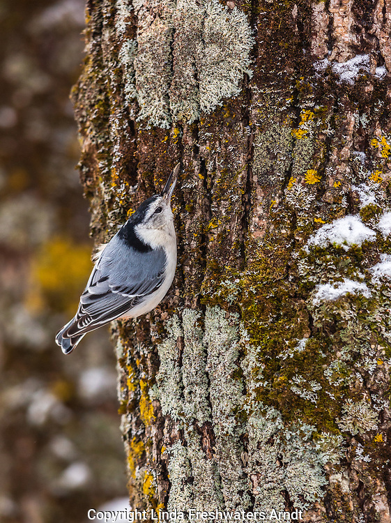 White-breasted nuthatch caching a sunflower seed in the bark of a tree in northern Wisconsin.