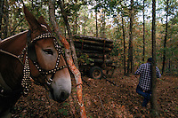 Timber industry can go back in time the further back you get into the woods in the Ozarks.  This logger uses a mule to bring his logs up to his wagon. Once an ancient sea, its uplifted floor untouched by scouring glaciers that stopped to the north.  Eons of erosion carved deep valleys into the Ozarks crusty limestone plateau, transforming its flat surface into the unlikely role of hills.  They march nearly level into the distance, and peak at 2,600 feet in Arkansas's Boston Mountains...  Ozarks region in Missouri and Arkansas by Randy Olson for National Geographic Magazine.