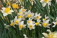 Narcissus 'Jack Snipe' daffodil