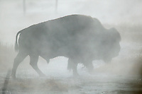 Bison in steam, Yellowstone National Park, Wyoming.