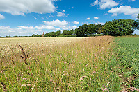 Beetle bank separating two large fields - Lincolnshire, July