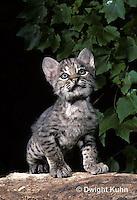 MA26-004z  Bobcat - young - Felis rufus