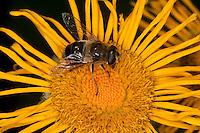 Bienen-Schwebfliege, Bienenschwebfliege, Mistbiene, Weibchen beim Blütenbesuch, Nektarsuche, Bestäubung, Eristalis spec., drone fly