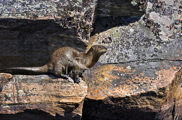 River Otter (Lutra canadensis). September, Algonquin Provincial Park, northern Ontario, Canada.