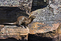 River Otter (Lutra canadensis). September, Algonquin Provincial Park, northern Ontario, Canada.