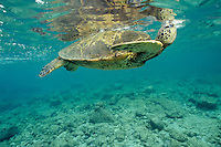 Green Sea Turtle (Chelonia mydas) taking a breath of air while swimming in ocean.  Hawaii.
