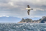 Black-browed albatross (Thalassarche melanophris) in flight over rough seas. Straits of Magellan, Patagonia, Chile