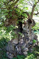 Flatterulme, Flatter-Ulme, Ulme, Flatterrüster, uralter Baum mit Baumhöhlen, Baumhöhle, Ulmus laevis, Ulmus effusa, European White Elm, Fluttering Elm, Spreading Elm, Russian Elm
