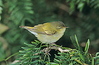Tennessee Warbler, Vermivora peregrina, adult, South Padre Island, Texas, USA, May 2005