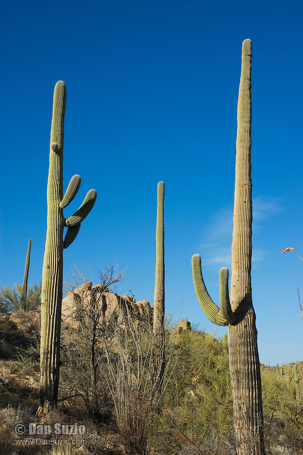 Saguaro, Carnegiea gigantea, Saguaro National Park, Arizona