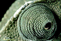 CH06-014z  African Chameleon - close-up of eye, rotates completely and independently of other - Chameleo senegalensis