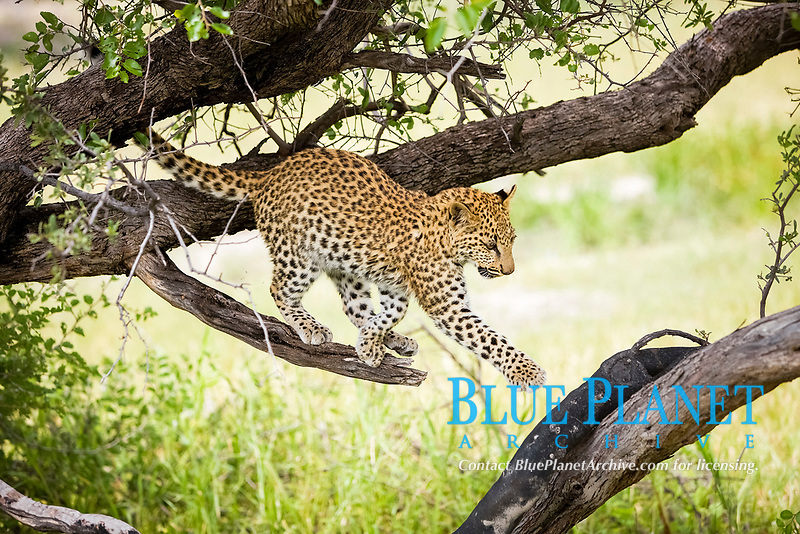 leopard, Panthera pardus, four month old cub in tree, baby, Namibia, Africa