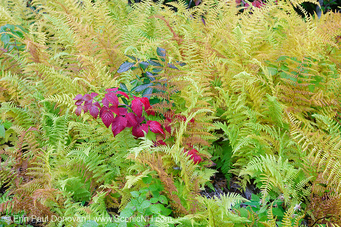 Ferns during the autumn months in the White Mountains, New Hampshire USA.