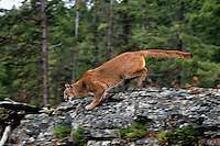 Mountain Lion or cougar (Puma concolor).  Western U.S.