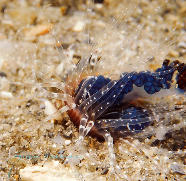 Lined Tube Dwelling Anemone, eating Portuguese Man-o-War Jellyfish , Blue Heron Bridge; Lake Worth Inlet; Florida; USA; Amazing Underwater Photography; Marine behavior