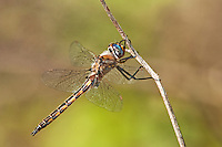 310880011 a wild male dot-winged baskettail dragonfly epitheca tetragoneuria petechialis near caddo lake in marion county texas