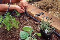 Gardener installing drip irrigation in organic raised bed vegetable garden