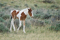 Young Colt, McCullough Peaks Wild Horse Range, Cody, Wyoming