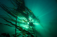 The suns rays penetrate an underwater forest of Bull Kelp (Nereocystis leatkeana) in Juan de Fuca Strait off the southwest coast of Vancouver Island, British Columbia, Canada.