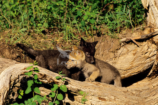 Gray wolf pups (Canis lupus) playing.
