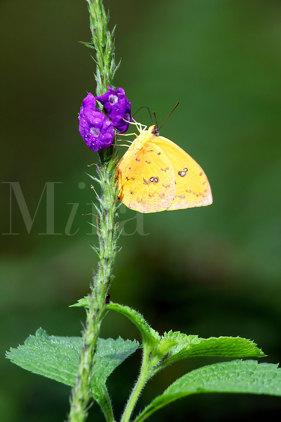 Orange-barred Sulphur (Phoebis philea) at the Butterfly Observatory, La Paz Waterfall Gardens and Peace Lodge, Costa Rica