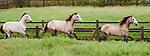 Lusitano horses, Bahia, Brazil