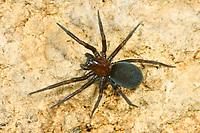Vierfleckige Kalksteinspinne, Weibchen, Kalksteinspinne, Titanoeca quadriguttata, Titanoeca obscura, female, Kalksteinspinnen, Kalkstein-Spinnen, Titanoecidae